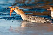Red-breasted Merganser, Mergus serrator, female, feeding on crayfish, St. Clair River, Michigan