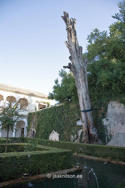 Old Dead Tree in Generalife Garden, Alhambra Palace, Spain