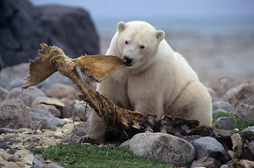 Polar Bear, Ursus maritimus) Feeding on Beluga whale carcass. Canada.
