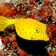 Yellow Boxfish inhabit reefs. Pictue taken Fiji.