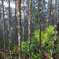 The montane heath forests of Gunung Silam, Sabah, Malaysia, Borneo, South East Asia.