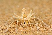 Die Afrikanische Radspinne (Carparachne aureoflava), eine Dünenspinne die zur Familie der Riesenkrabbenspinnen gehört, lebt in einer bis zu 50 cm tiefen, selbstgegrabenen Höhle im Dünenhang. Vom getarnten Eingang ihres Baus aus oder bei den Jagdausflügen auf der Sandfläche erbeutet die Spinne Insekten. Dieses noch sehr kleine Exemplar hat eine Heuschrecke überwältigt, die größer war, als die Spinne selbst. Wird eine Radspinne ausgebuddelt oder bei einem Jagdausflug auf offener Sandfläche bedroht, flieht sie auf eine im Tierreich einmalige Art und Weise: Aus vollem Lauf wirft sie sich auf die Seite und winkelt alle Beine so an, dass ein perfektes Rad entsteht, das mit einer Geschwindigkeit von ca. 1 m pro Sekunde den steilen Dünenhang hinabrollt. Dabei dreht die Spinne sich etwa 20 mal in der Sekunde um die eigene Achse. | Golden Wheel Spider (Carparachne aureoflava) The Golden Wheel Spider (Carparachne aureoflava) is truly a unique and amazing creature of the beautiful Namib Desert. It builds burrows that extend 40 ? 50cm deep into thesand dunes. The burrow generally gives it sufficient shelter from its predators and especially its archenemy: Pompilid wasps. However, sometimes their burrow collapses and they have to build a new one, which can take a few days. The new burrows are initially not very deep and this is the time for the wasp to attack. They go into the burrow to inspect the size of the spider. The spider can fight them off in the burrow but then the wasp begins to dig a hole towards the end of the burrow.The wasp is able to shift 10 litres of sand or up to 80,000 times its own body weight during this process. The spider,now exposed to the wasp, has two alternatives. If it is on a steep sand dune, it makes itself into a ball and rolls down the slope with a speed of 1 m/s and about 20 rotations per second. The wasp is unable to follow the spider and the spider survives. The other option is running. However, the wasp can fly after the spider, sting it, paral