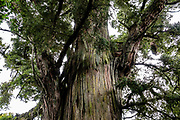 Peel Forest Park Scenic Reserve, Canterbury region, South Island of New Zealand. We enjoyed the Big Tree Walk through native podocarp (conifer) forest. Huge native totara trees, one almost three meters across, are thought to be about 1,000 years old. Peel Forest is an important remnant of a much larger forest which was cleared for agriculture on South Island. The park is managed by the Department of Conservation as a scenic reserve, located 22k north off SH72.