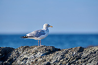 Herring Gull (Larus argentatus) perched on rocks, Crescent Beach,   Nova Scotia, Canada