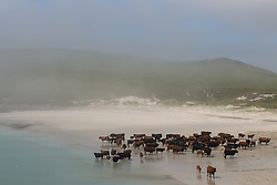 © Licensed to London News Pictures. 28/09/2013. Vatersay, UK A heard of cows take to the beach at Vatersay,  in the Outer Hebrides of Scotland. Their pasture is fenced on three sides with an opening towards the  beach side. The cows regularly sit on the sand and take dips in the sea. Photo credit : Douglas Bruce/LNP