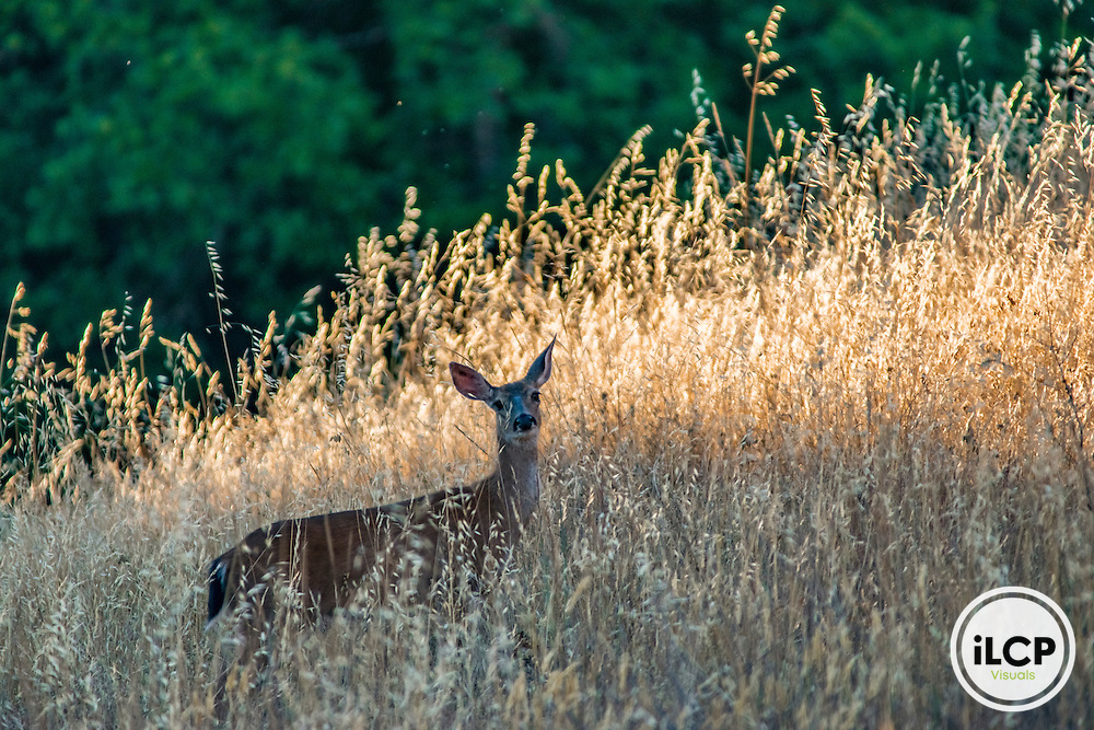 A female Columbian Black-Tailed Deer (Odocoileus hemionus columbianus) grazes along a foothill slope in Northern California.