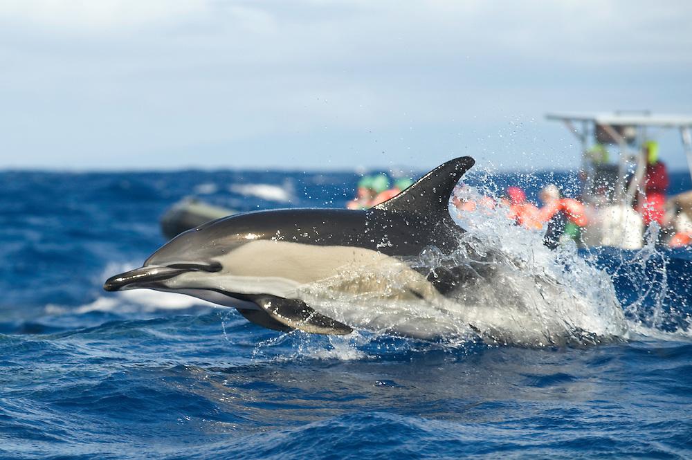 Common dolphin. Delphinus delphis, Pico, Azores, Portugal<br /> Model release by photographer