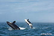 southern resident orca, or killer whale, Orcinus orca, juvenile and adult breaching together in a double breach, off southern Vancouver Island, Strait of Juan de Fuca, British Columbia, Canada ( Eastern North Pacific Ocean )<br /> #2 in sequence of 5