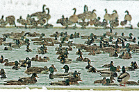 Mallard Ducks and Canadian Geese share the open waters of a half frozen wetland pond in a snow storm.