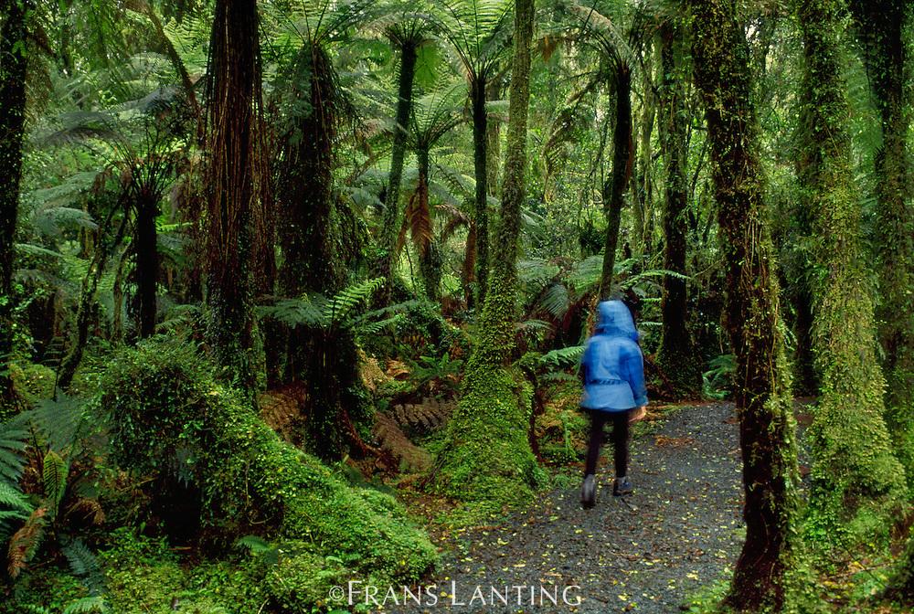 Hiker in rainforest, Westland National Park, New Zealand