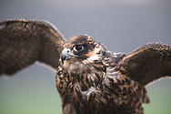 A falcon belonging to one of the members during a meet of the Cheshire Hawking Club at Brimstage, Wirral.