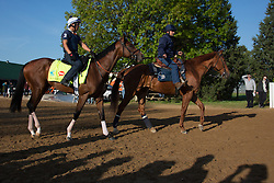 Derby 139 hopeful Normandy Invasion, left, with Javier Harrera up heads out to the track for morning workouts Tuesday, April 30, 2013 at Churchill Downs in Louisville. Photo by Jonathan Palmer