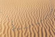 Track of a brown-necked raven (Corvus ruficollis) in desert sand, Sahara desert, Morocco.
