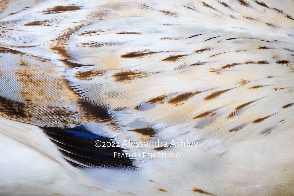 Close up view of flowing white feathers and blue speculum on snowy mallard hybrid duck hen.