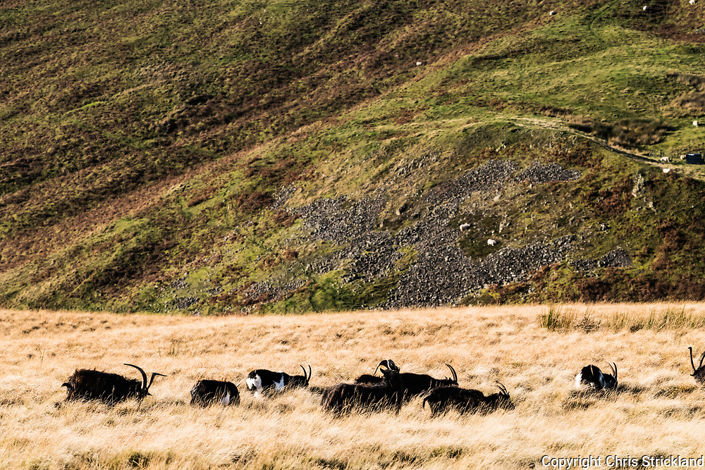 Feral goats graze on the Anglo Scottish Border and the Pennine Way in the Cheviot Hills. The herd clusters in the region are believed to be the purest descendants from the neolithic era which came to Britain from the Middle East.