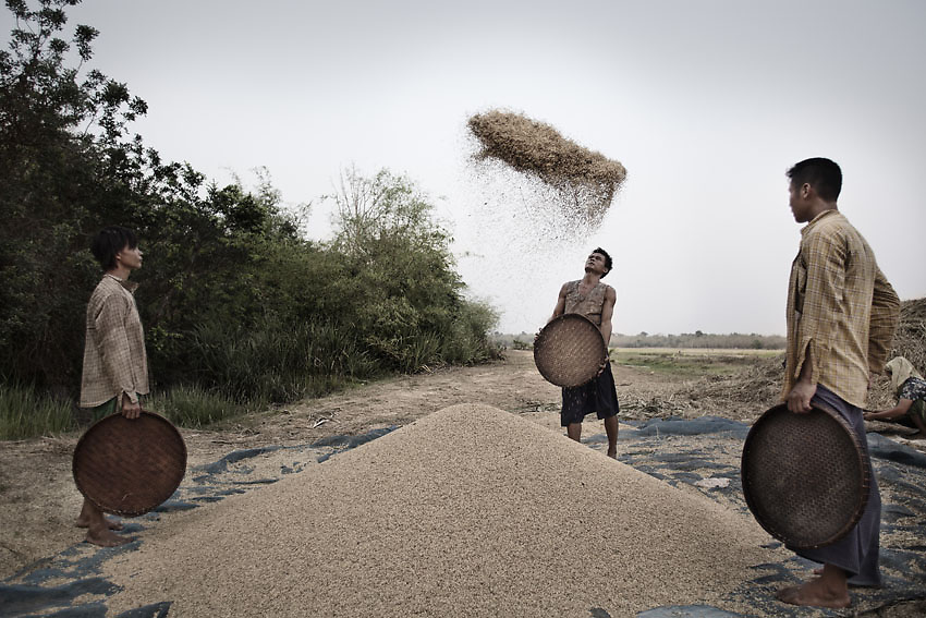Burmese farmers separating the heavier wheat seeds from dry leaves after harvesting. Kawhmu township, Yangon, Myanmar.