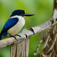 The Blue-and-white Kingfisher (Halcyon diops) inhabits forest margins where it feeds on lizards and large insects. North Maluku, Indonesia.
