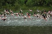 Kenya, lake naivasha, Kenya, Flamingos running on the water in preparation to take off