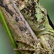 Lizard. The Piro Biological Station run by Osa Conservation in the Osa Peninsula, Costa Rica.