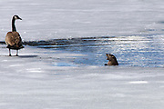 river Otter and Goose at Oxbow Bend Grand Teton National Park Wyoming