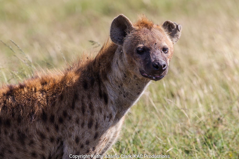Spotted hyaena, sometimes called laughing hyaena, or hyena, detail of face and shoulders, Ngorongoro Conservation Area, Tanzania, Africa. Crocuta crocuta.