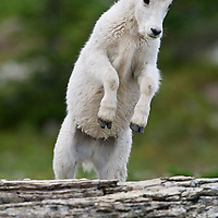 young rocky mountain billy goat kid jumps for joy over a log in glacier national park