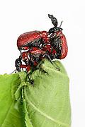 Hazel Leaf-roller Weevil (Apoderus coryli) Westensee, Germany | Von dem Kampf der beiden paarungswilligen Männchen auf ihrem Rücken lässt sich der weibliche Haselblattroller (Apoderus coryli) nicht von der Arbeit an der Blattrolle für den Nachwuchs abhalten.
