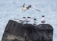 Elegant Terns on Isla Raza in San Lorenzo Archipeligo National Park  in the Gulf of California, Mexico.
