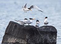 Elegant Terns on Isla Raza in San Lorenzo Archipeligo National Park  in the Gulf of California, Mexico.