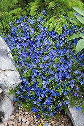 Lithodora diffusa 'Heavenley Blue' syn. L. diffusum 'Heavenly Blue' AGM growing on the rock garden