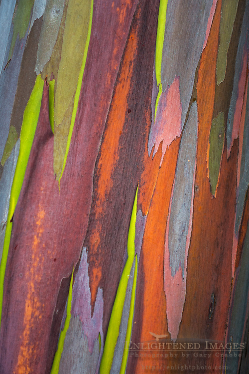 Detail of Rainbow Eucalyptus bark (Eucalyptus deglupta) - Hāmākua District, The Big Island of Hawai'i, Hawaii