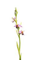 Bee orchid in flower, Ophyris apifera, Suffolk, England, Europe.