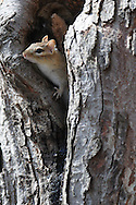 This chipmunk is peaking out from his hiding spot in a tree in upstate, NY.