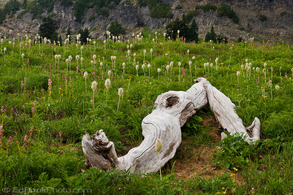 A sunbleached log lies in a wildflower meadow of Mountain Anemone and Magenta Paintbrush on the slopes of Naches Peak south of Chinook Pass in the William O Douglas Wilderness in the Wenatchee National Forest, Cascade Range of Washington state, USA