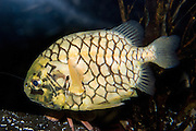The Pinecone fish (Monocentrus japonicus) has strong platelike scales called scutes which are fortified with prominent ridges to protect it from predators. The Pinecone fish is yellow to orange, with the scales dramatically outlined in black. Pinecone fishes are small and unusual beryciform marine fish of the family Monocentridae, distributed in tropical and subtropical waters of the Indo-Pacific. Seattle Aquarium, Washington, USA.