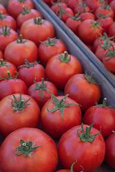 North America, United States, Washington, Kirkland, organic tomatos at Farmers Market