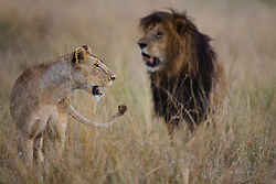A pair of mating lions (Panthera leo), Masai Mara, Kenya