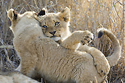 Lion <br /> Panthera leo<br /> Playful 3-4 month old cubs <br /> Mala Mala Reserve, South Africa