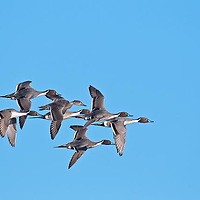 courtship flight northern pintail males chasing femail in flight