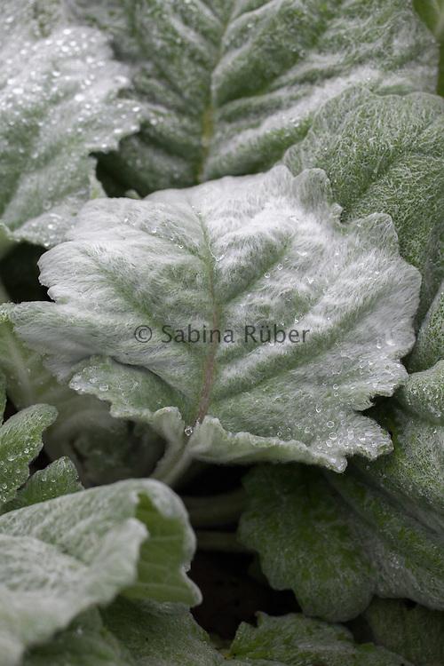 Salvia argentea - silver sage