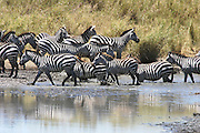 Africa, Tanzania, Serengeti National Park annual migration of over one million white bearded (or brindled) wildebeest and 200,000 zebra. Spring April 2007