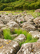 Flowers and grasses teem amongst shoreline boulders at Carsaig, Isle of Mull