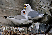 Pair of black-legged kittiwakes (Rissa tridactyla) at the bird cliff at Hornøya, Finnmark, Norway.