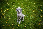 """English Setter Welpe """"Rudy"""" am 29.04. 2017 zwischen Blumen im Garten.  Rudy wurde Anfang Januar 2017 geboren und ist gerade zu seiner neuen Familie umgezogen."""