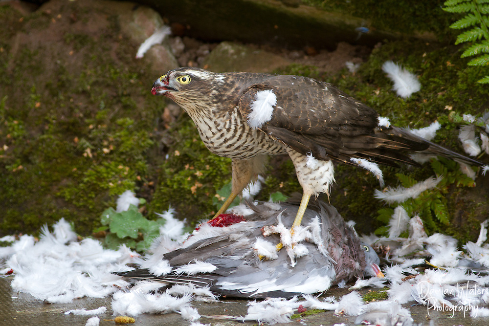 Female Sparrowhawk, Accipiter nisus, killing and eating a Woodpigeon, Wirral - September
