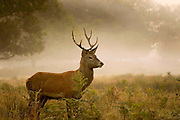 UNITED KINGDOM, London: 08 October 2015 A young male Red Deer stands in the foliage of Richmond Park during an autumnal sunrise this morning. Photo: Rick Findler / Story Picture Agency
