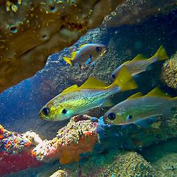 Corvina-dos-recifes (Odontoscion dentex) fotografado em três Ilhas, no município de Guarapari, no Espírito Santo -  Sudeste do Brasil. Oceano Atlântico. Registro feito em 2020.<br /> ⠀<br /> ⠀<br /> <br /> <br /> <br /> <br /> ENGLISH: Reef croaker photographed in Três Ilhas, Guarapari, in Espírito Santo - Southeast of Brazil. Atlantic Ocean. Picture made in 2020.
