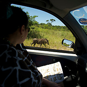 Warthog.  Game viewing from a car at the Hluhluwe Umfolozi game reserve.  Northern KwaZulu Natal, South Africa