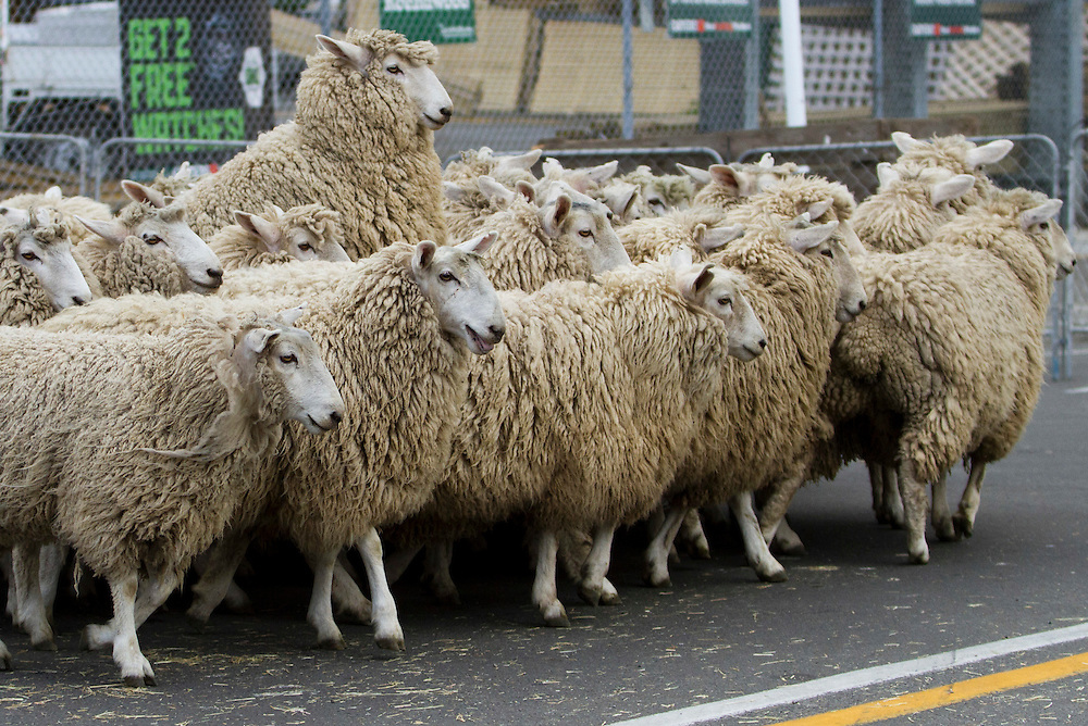 Country comes to town for the 'Running of the lambs' in Waipukurau, New Zealand,Saturday, September 17, 2011 Credit: SNPA / John Cowpland