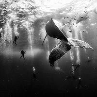 Diving with a humpback whale and her new born calf while they cruise around Roca Partida Island, in Revillagigedo, Mexico. <br /> <br /> Fine art prints of this photograph are available at: http://www.natgeofineart.com/collections/whale-whisperers-mexico-2015/